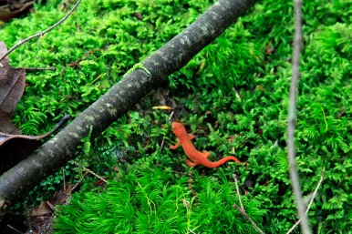 Red Eft _MG_95144x6